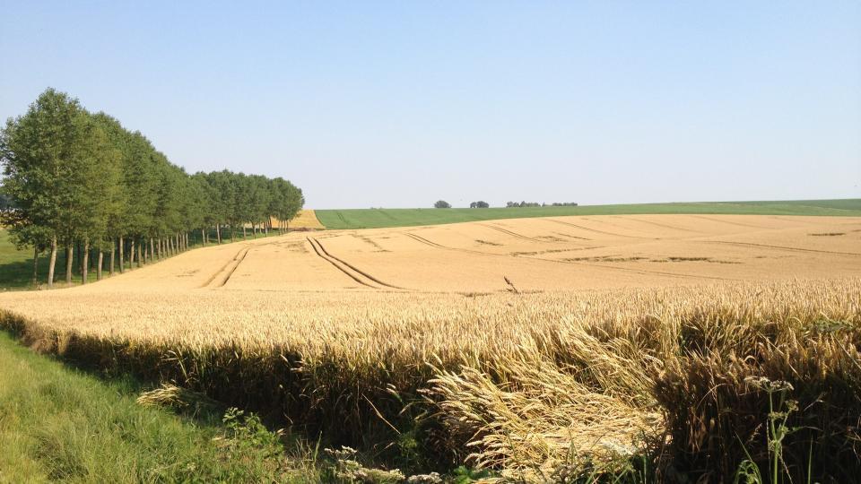 Champs céréales