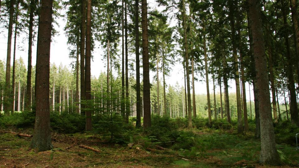 Forêt résineuse